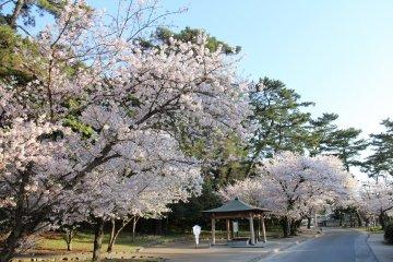 Sakura Season at Kagawa's Kotohiki Park