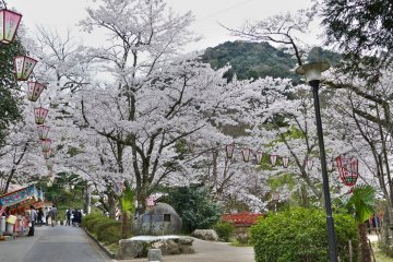 Cherry Blossoms at Tottori's Utsubuki Park