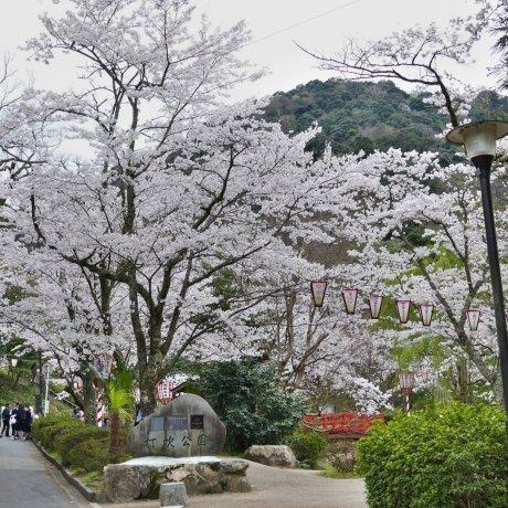 Cherry Blossoms at Tottori's Utsubuki Park