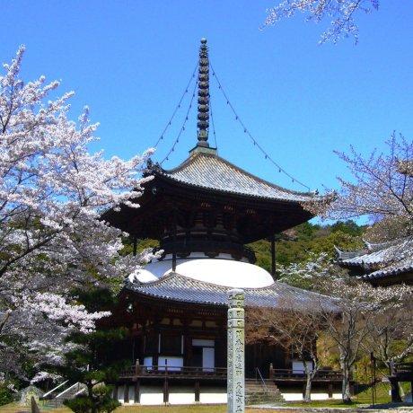 Cherry Blossoms at Negoro-ji
