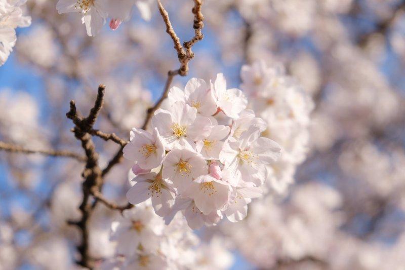Sakura season is full of beauty