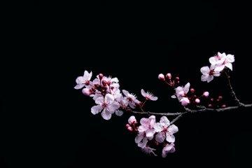 The delicate beauty of sakura season is highlight of spring in Japan