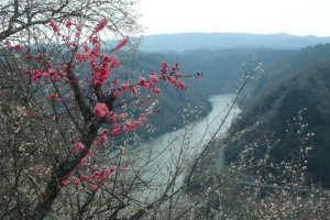 Plum trees coming to life with the backdrop of the Nabari River