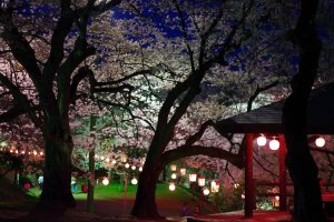 The beauty of sakura season at night