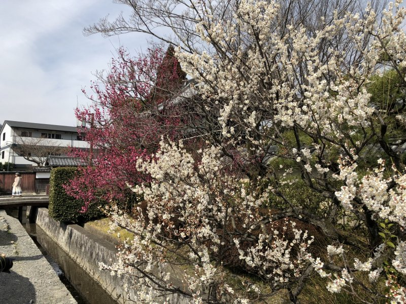 Just some of the many plum blossoms on the grounds here