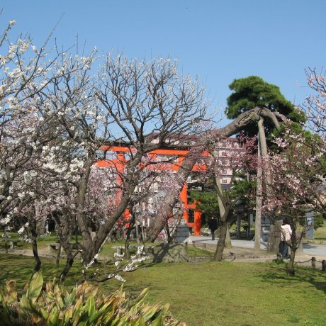 Plum Blossom Season at Hakusan Park