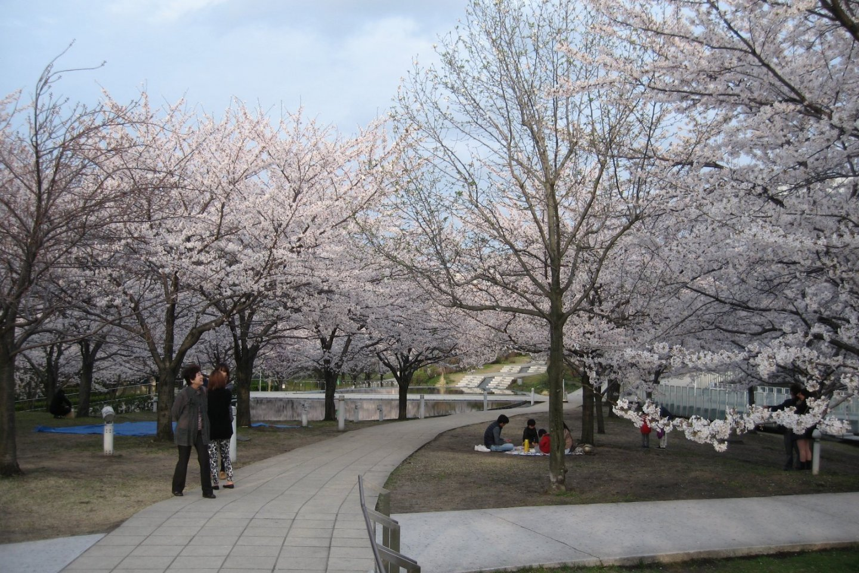 Hakusan Park is filled with around 160 sakura trees
