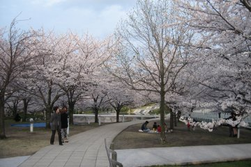 Sakura Season At Hakusan Park