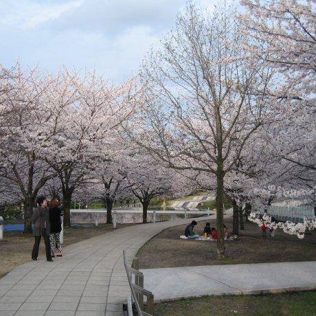 Sakura Season At Hakusan Park