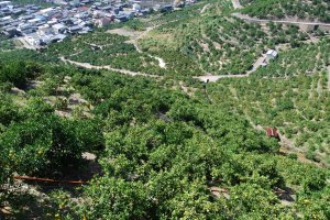 Small roads lead up the orchards, wide enough for the farmers' K-trucks to pass