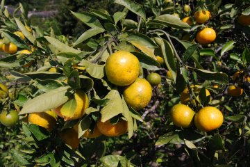 Unshu Arida Mikan almost ripe and ready for harvest
