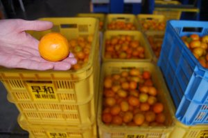 At Sowakajuen the harvested mikan are prepared for shipping or they are used to make juice