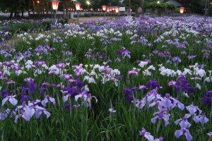 Beautiful irises in bloom at Nagai Ayame Park