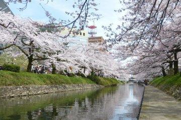 Sakura Season at Toyama's Matsukawa Park