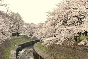 Sakura Season at Wadabori Park