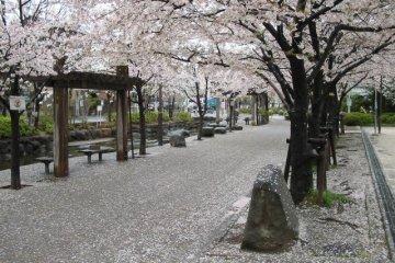 Cherry Blossom Season at Ninoe Sakura Park