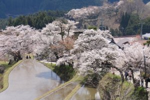 Stunning cherry blossoms set against terraced rice fields