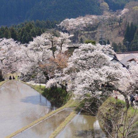 Mitake Cherry Blossom Festival