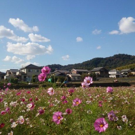 Cosmos Season at Kinryu Park