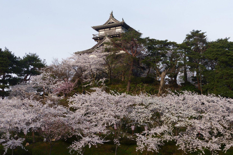 Beautiful views of Maruoka Castle surrounded by sakura trees