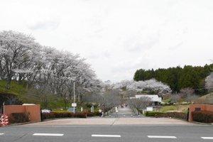 Shizumine Furusato Park is a popular springtime destination