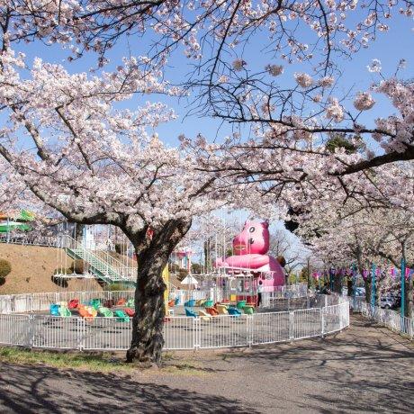 Sakura Season at Kamine Park