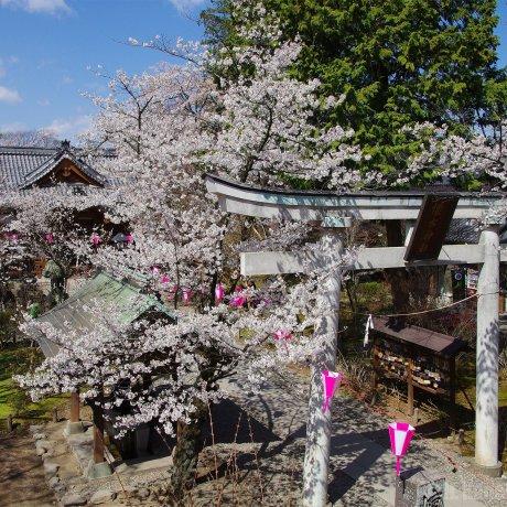 Sakura Season at Komoro Castle Park