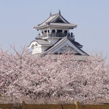 Sakura Season at Hokoen and Nagahama Castle