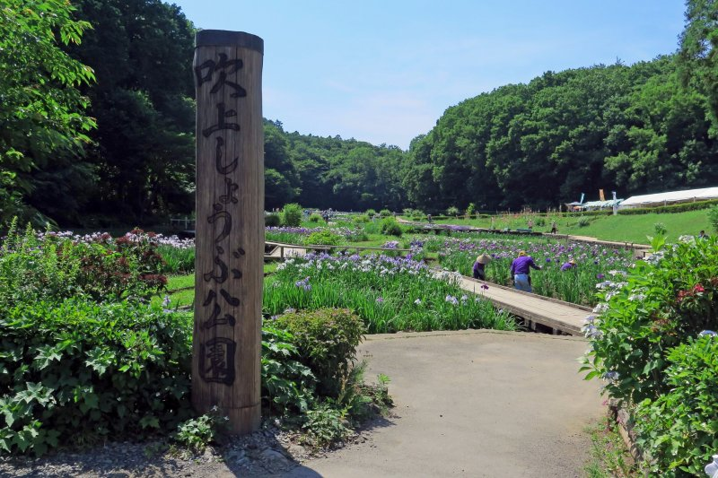 Ome's beautiful Fukiage Iris Park