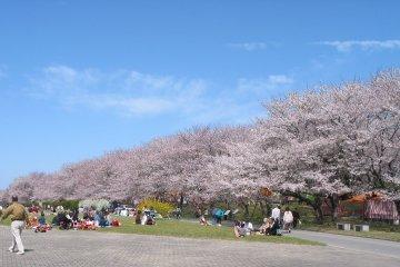 Miyagawa Tsutsumi Park Sakura Festival
