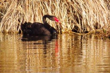 Black Swan Senba Park