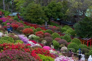 Nezu Shrine is one of Tokyo's famous azalea destinations