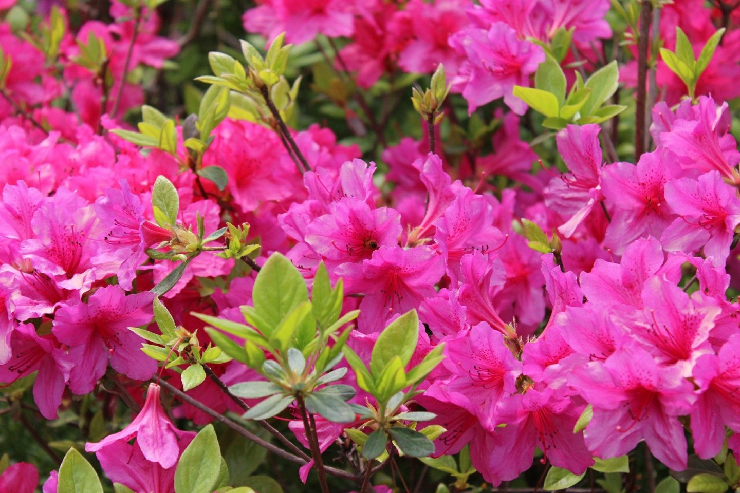 Japan is blessed with many beautiful destinations for azalea lovers