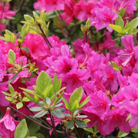 5 Awesome Azalea Destinations in Japan