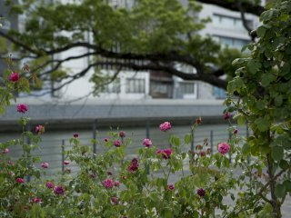 Some flowers still remained in bloom at the end of summer in September at Nakanoshima, Osaka City, Osaka Prefecture