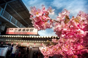 Miura Kaigan Cherry Blossoms