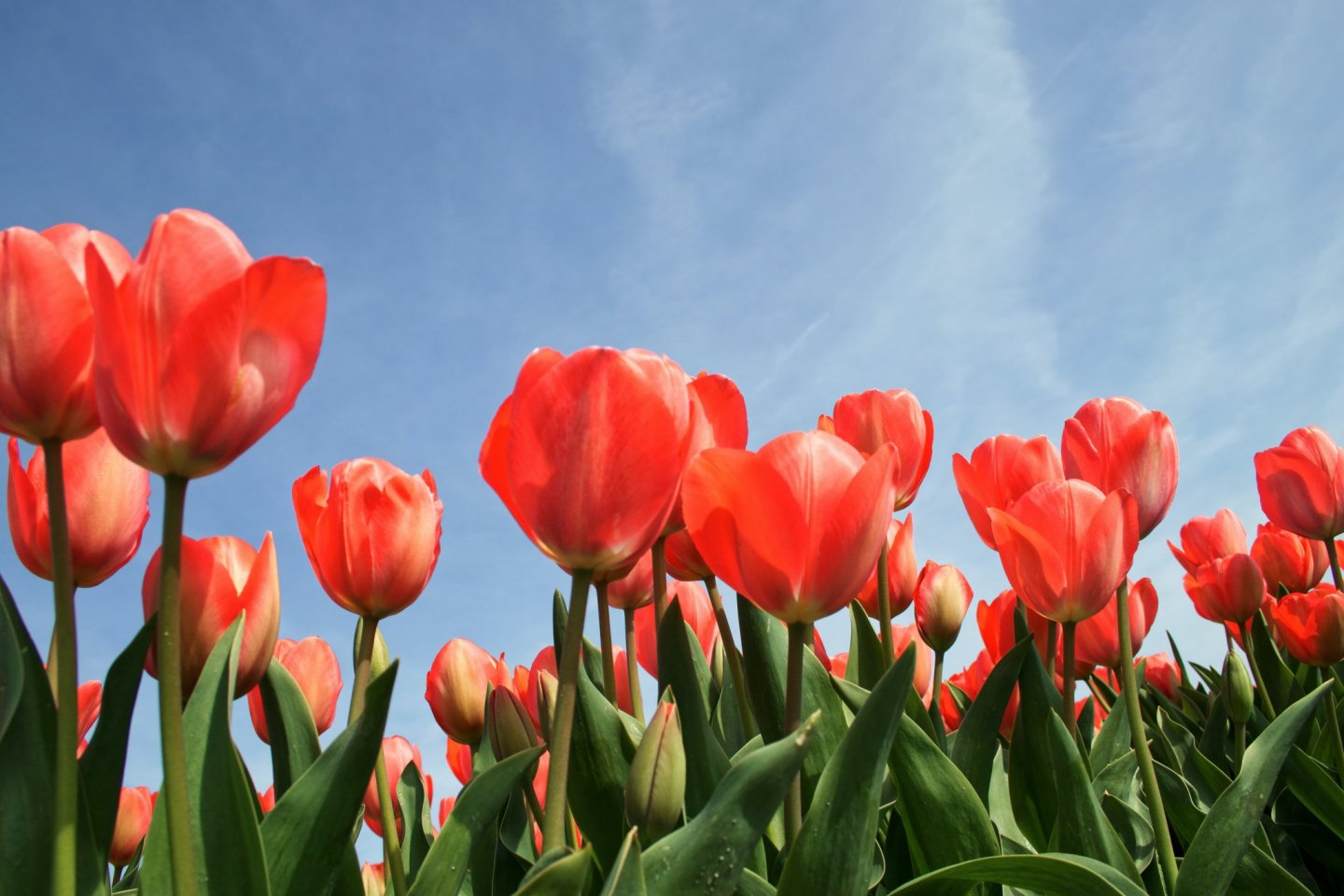 Tulips are one of the delights of spring in Japan