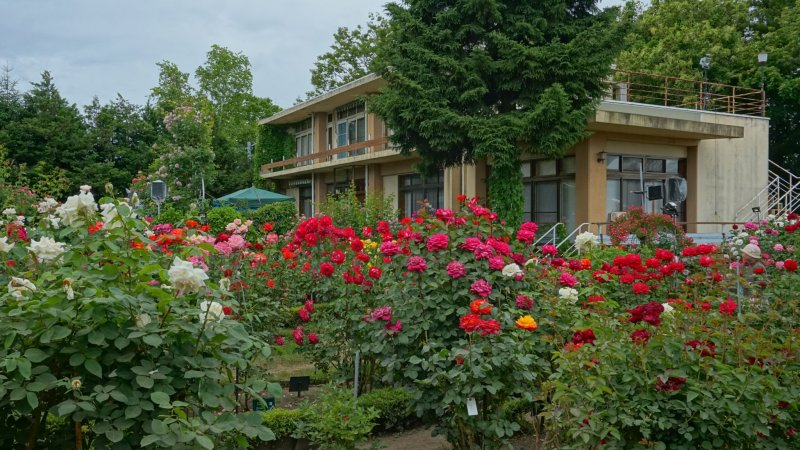 Just some of the blooms at the Odate Rose Festival