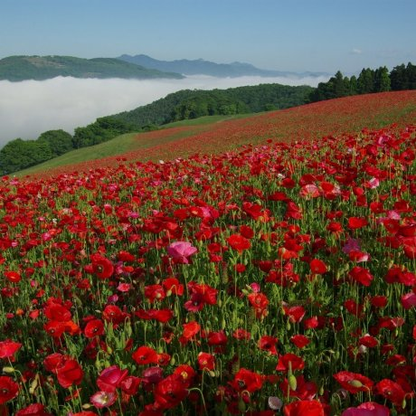 Sky of Poppies