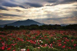 Poppies with a backdrop of Mount Tsukuba