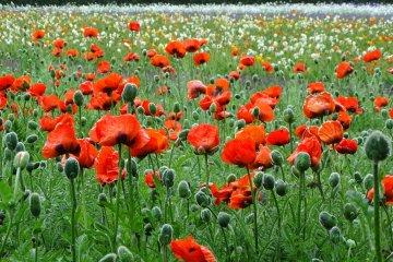 Perhaps better known for its lavender, Hokkaido's Farm Tomita also has plenty of poppies to enjoy