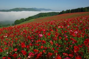 Saitama's Sky of Poppies is aptly named