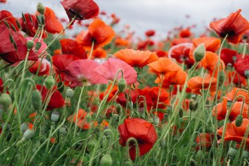 5 of Japan's Best Poppy Destinations