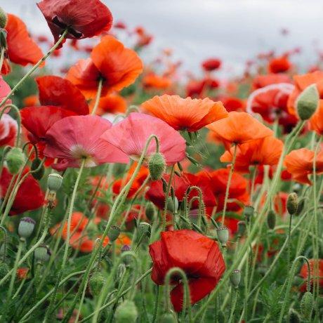 5 of Japan's Best Poppy Destinations
