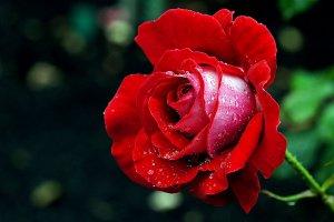 5 of Japan's Best Rose Gardens