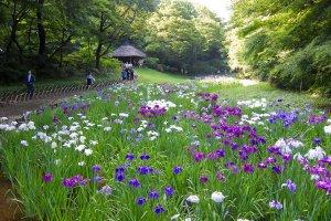 Meiji Shrine Iris Garden