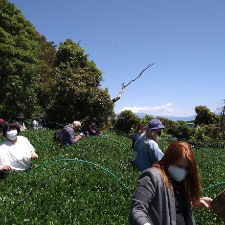 Shizuoka Tea and Drama Tour