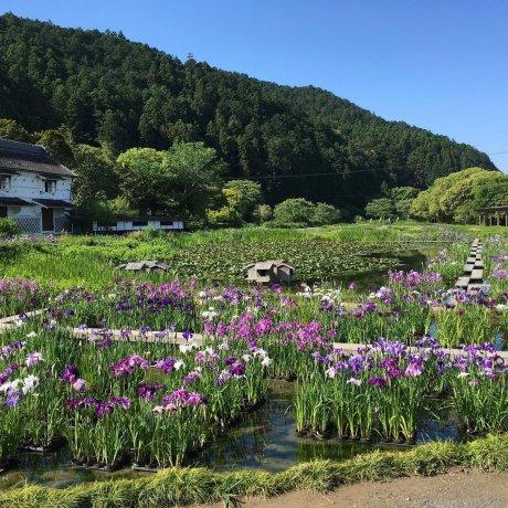 Iris and Hydrangea Exhibition