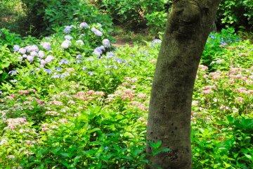Hodogaya Park - Colorful hydrangea garden