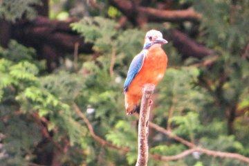 Yokohama Children's Botanical Park Kingfisher